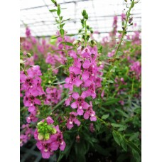 Angelonia - Various Sizes