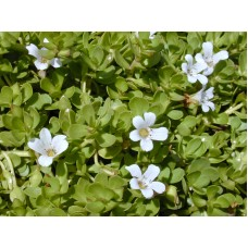 Bacopa - Various Sizes