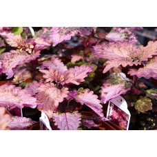 Coleus - Various Sizes