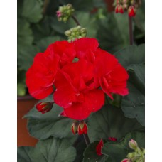 Geranium Zonal Annual - Various Sizes