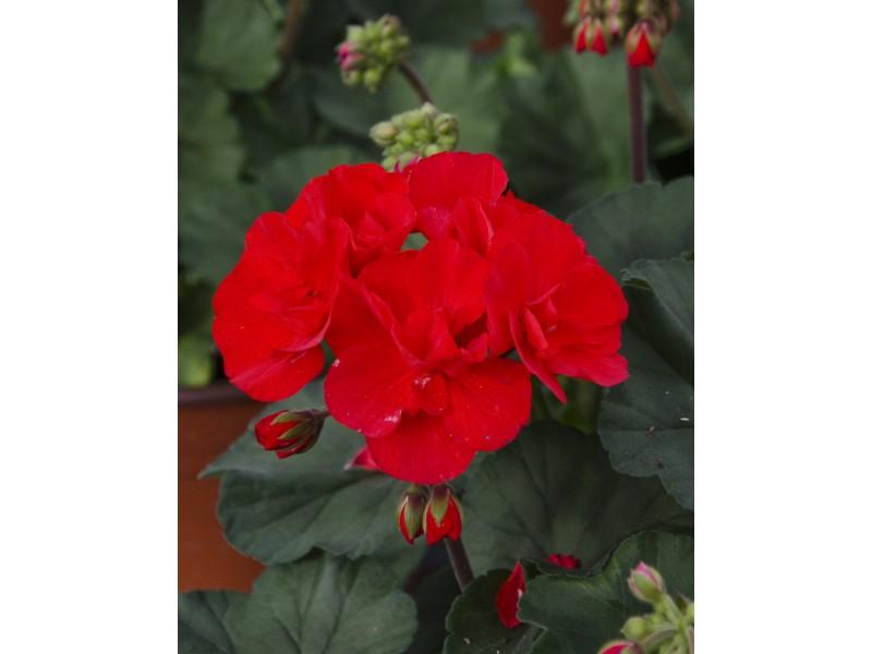 Geranium Zonal Annual Strange's Florists, Greenhouses & Garden ...