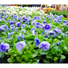 Pansies 4-Pack