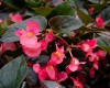 Dragon Wing Begonia - Various Sizes