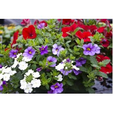 "10"" Assorted Annual Hanging Basket"