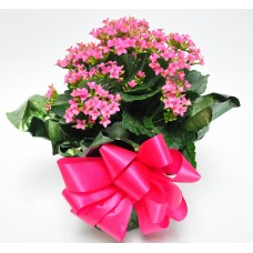 "6"" Kalanchoe Plant as a Gift"