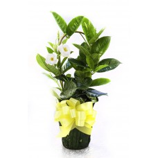 Mandevilla as a Gift