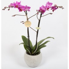 Orchid as a Gift - 6 inch - Assorted Colors