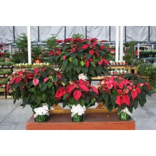 Burgundy Poinsettia