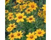 Coreopsis -  Multiple Varities/Sizes