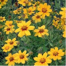 Coreopsis -  Multiple Varieties/Sizes