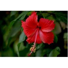 Luna Red Hibiscus