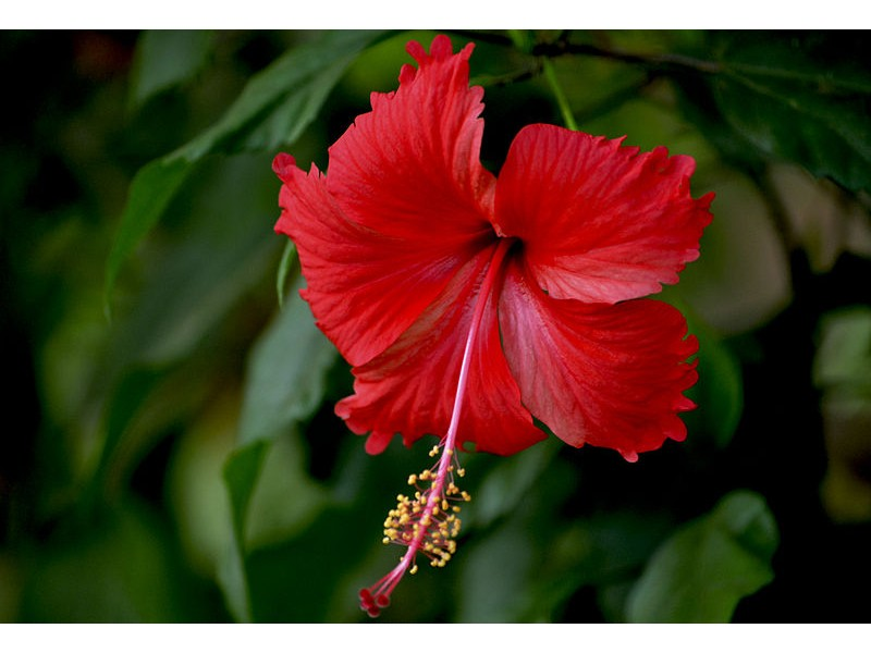 luna red hibiscus strange's florists, greenhouses  garden centers, Natural flower