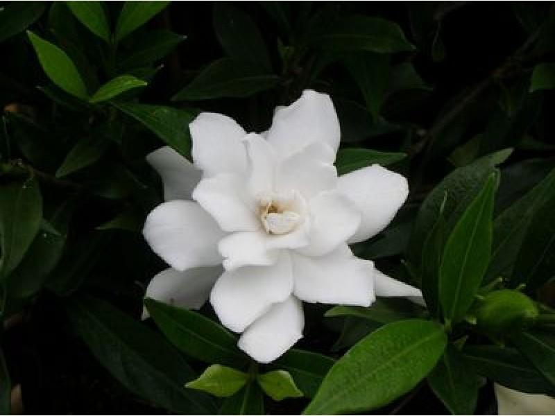 gardenia strange's florists, greenhouses  garden centers, Beautiful flower