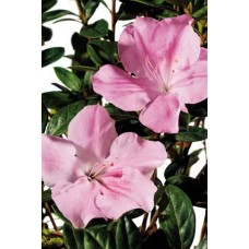 Azalea - Various Sizes 1 Gallon+