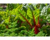 Swiss Chard - 4 pack