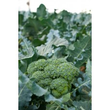 Broccoli -  4 pack