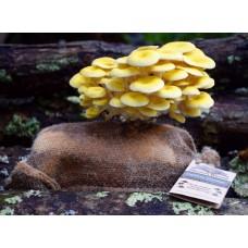 Mushroom Blooms in a Bag