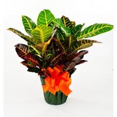 "Croton 6"" as a Gift"