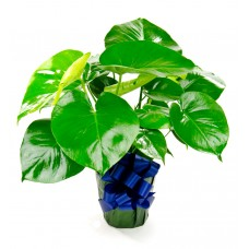 Monstera Philodendron Plant