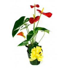 Anthurium Plant With Flowers