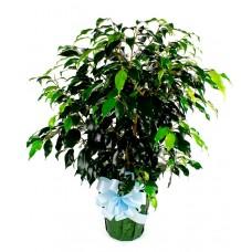"""Ficus Bush 6"""""""