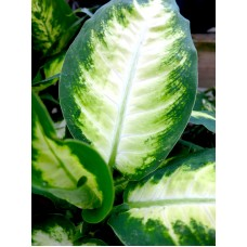 Dieffenbachia - Various Sizes