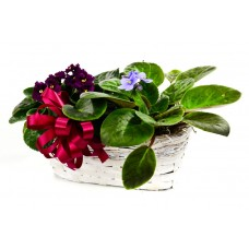 Double African Violet - RVA Only