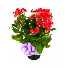 Rieger Begonia 6