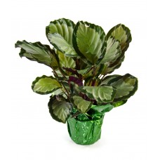 Calathea as a Gift