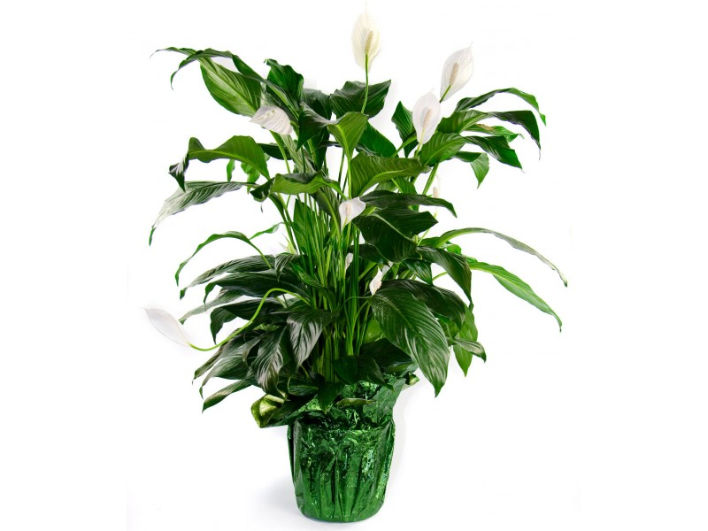 Peace Lily Clip Art Peace Lily icon