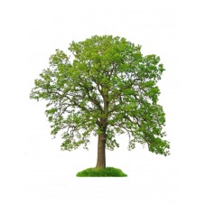Oak Tree - Multiple Varieties/Sizes
