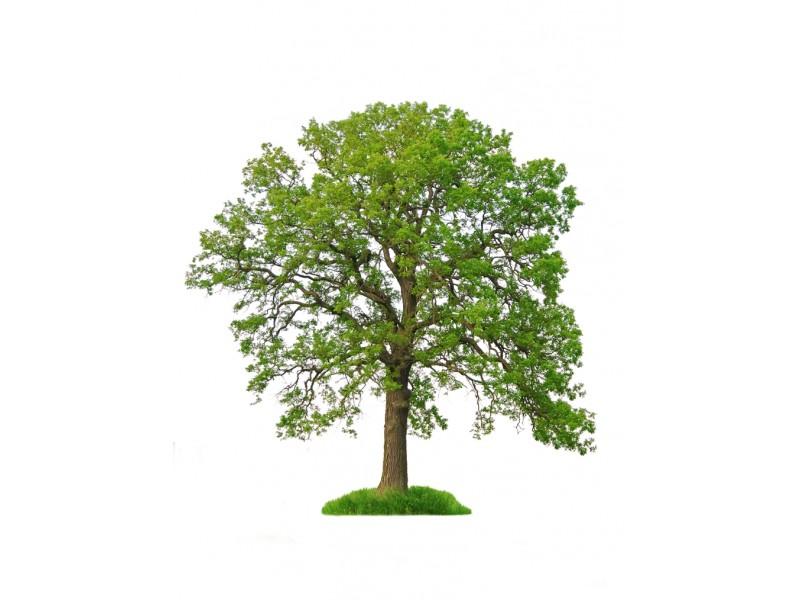 Oak Trees from Strange\'s Nursery Strange\'s Florists, Greenhouses ...