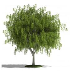 Willow Tree - Multiple Varieties