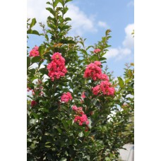 Crape Myrtle - Multiple Sizes/Varieties