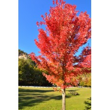 Red Maple Tree - Multiple Varieties/Sizes