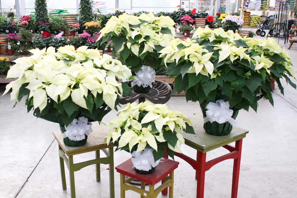 White Poinsettia...