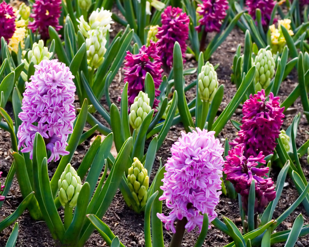 Planting bulbs this fall is the easiest way to have spring blooms van bloem pink hyacinth garden sm mightylinksfo Choice Image