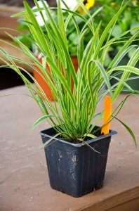 At around $2, Varigated Liriope adds some bang for our buck.