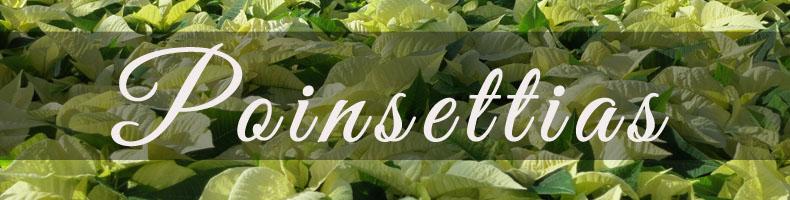 Richmond Virginia's Favorite Poinsettias!