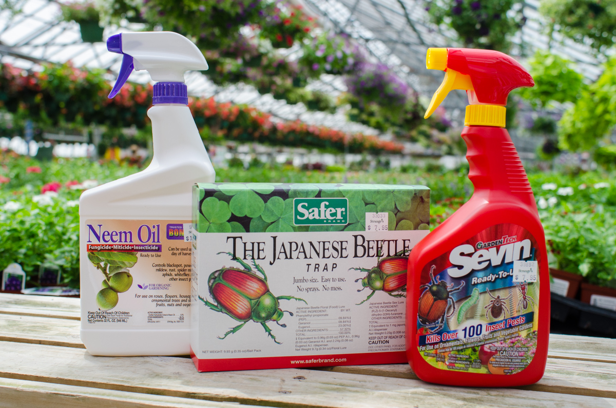 Having trouble with japanese beetles strange 39 s florists greenhouses and garden centers - Gardening in summer heat a small survival guide ...