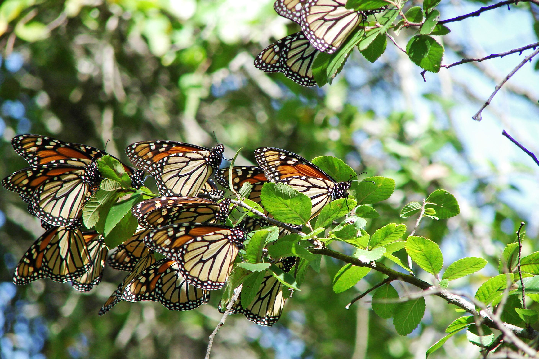 MonarchButterfly-5635
