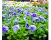 Pansy Winter Annual - Various Sizes