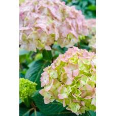 Hydrangea BloomStruck