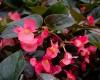 Dragon Wing Begonia - Various Sizes
