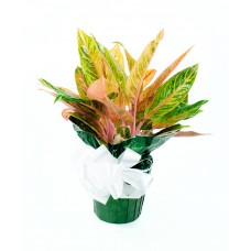 Chinese Evergreen Red