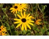 Goldstrum Rudbeckia