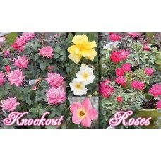 Knock Out Rose