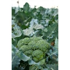 Broccoli  4-pack