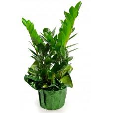 """ZZ Plant 6"""""""