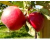 Fruit Trees - Multiple Varieties